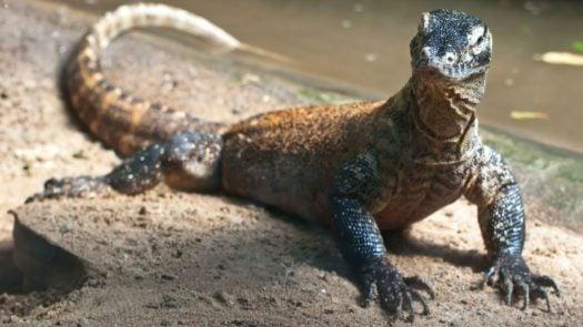 Dragon de Komodo, les îles de Komodo, Indonésie