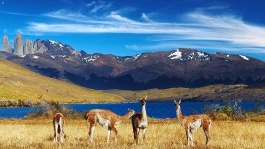torres del paine llamas meadow