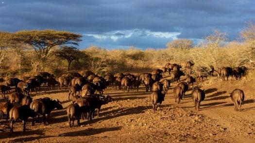 herd-of-buffalo-africa