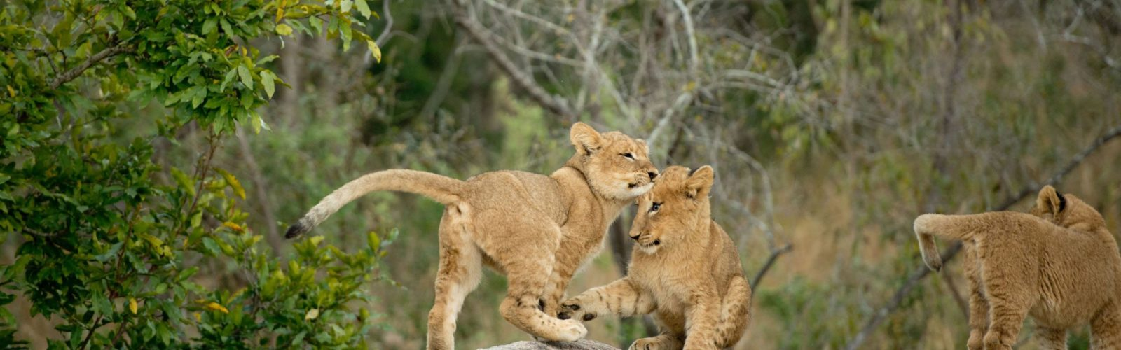 sabi-sands-lion-cubs-south-africa