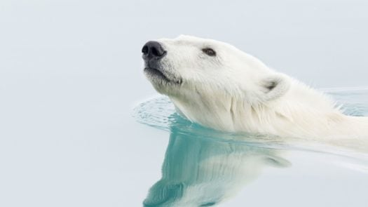 A polar bear glides through the icy waters in Svalbard