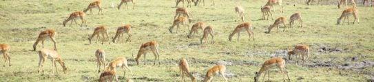 lower-zambezi-impala