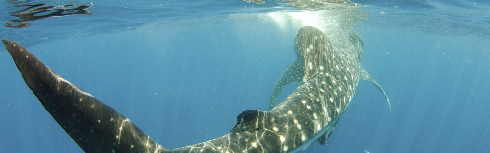 Whale shark swimming under water
