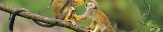 Ecuador Amazon Squirrel Monkey