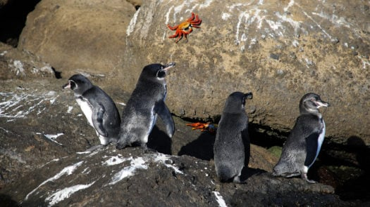 galapagos-penguins-and-crabs