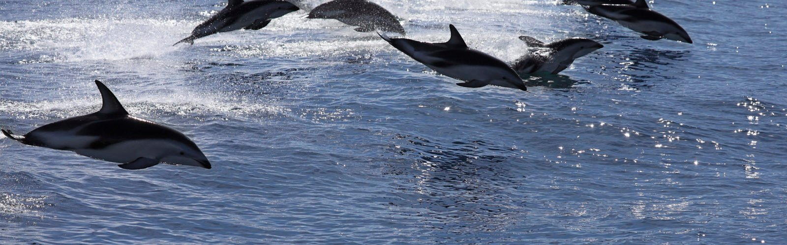 Pod of jumping dolphins, Kaikoura, New Zealand
