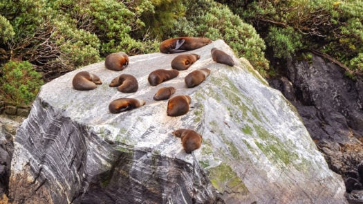 milford-sound-seal-colony