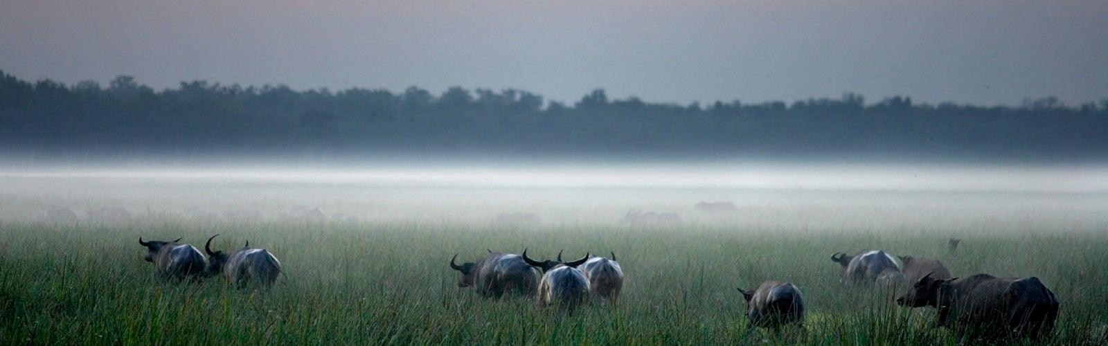bamurru-plains-buffalo-australia