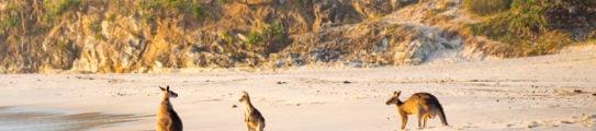 stradbroke-island-kangaroos-australia