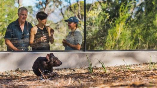 saffire-tasmanian-devil