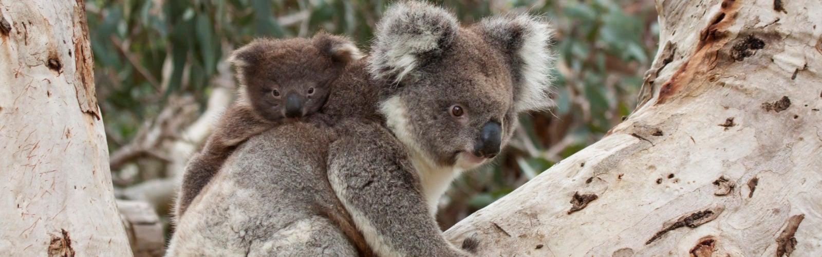 Baby Koala on Mother's Back