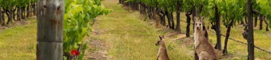 hunter-valley-vineyard-australia