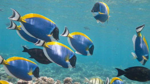 blue-tang-paletter-surgeonfish-great-barrier-reef-australia