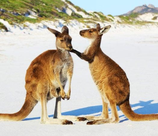 Kangaroo Mother and Young cuddling, Lucky Bay, Australia