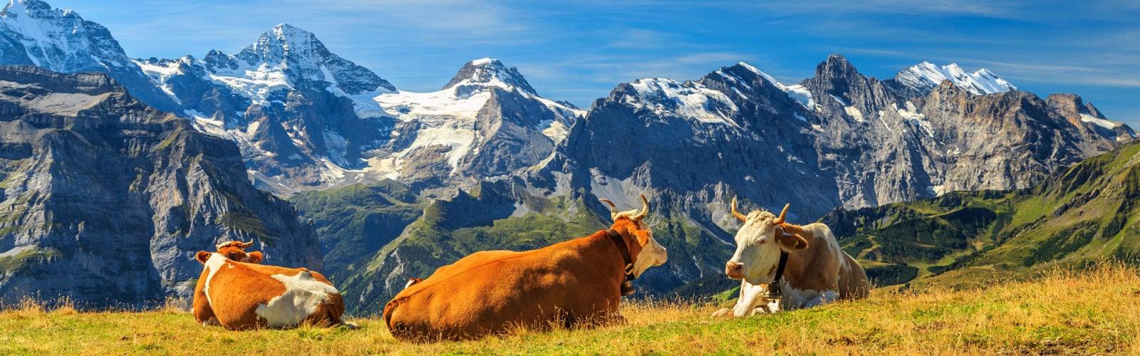swiss-cows