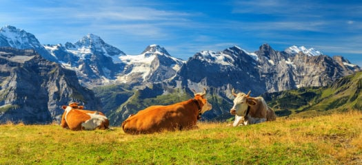 swiss-cows