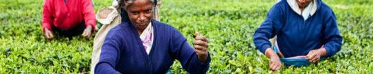 tea-pickers-sri-lanka