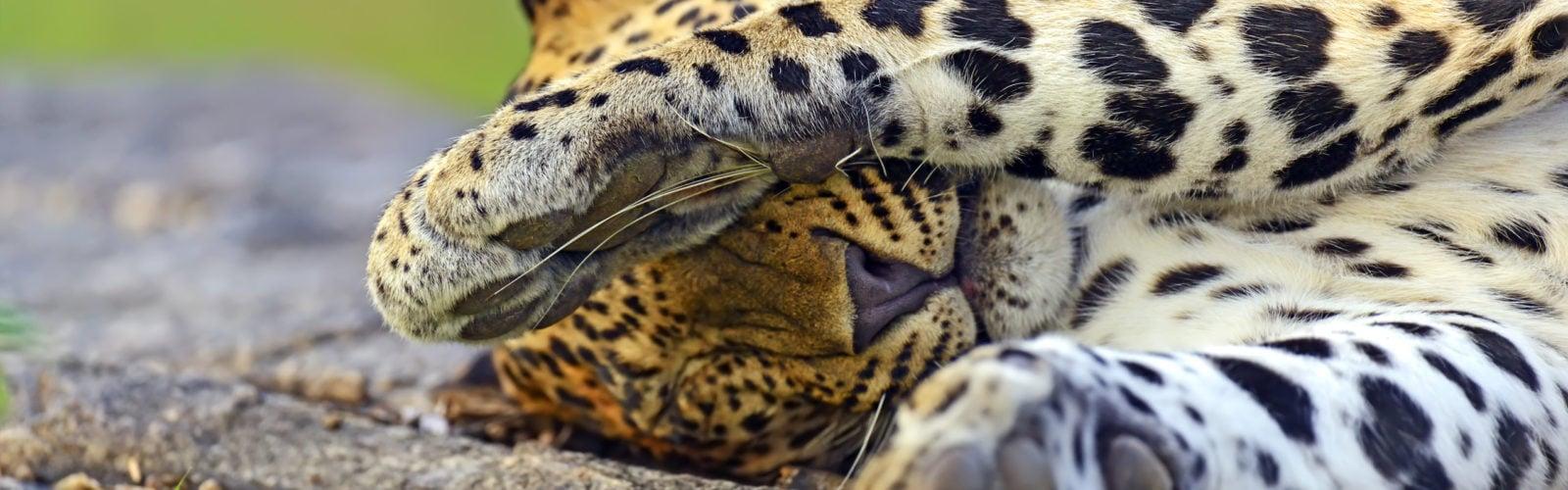 leopard-yala-national-park-sri-lanka