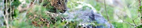 leopard-sri-lanka