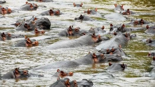 Hippos, Ishasha river, Queen Elizabeth National Park, Uganda