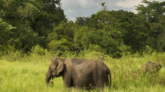 Elephants in Minneriya, Sri Lanka