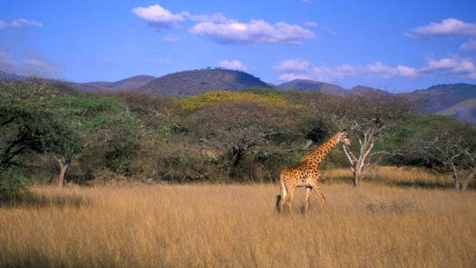 Giraffe (Giraffa camelopardalis), Chyulu Hills, Kenya