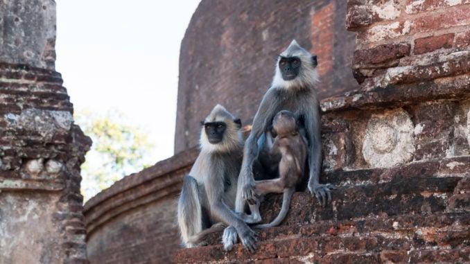 hanuman-langar-family-polonnaruwa-sri-lanka