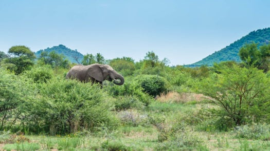 Elephant. Pilanesberg national park. South Africa. December 7, 2014