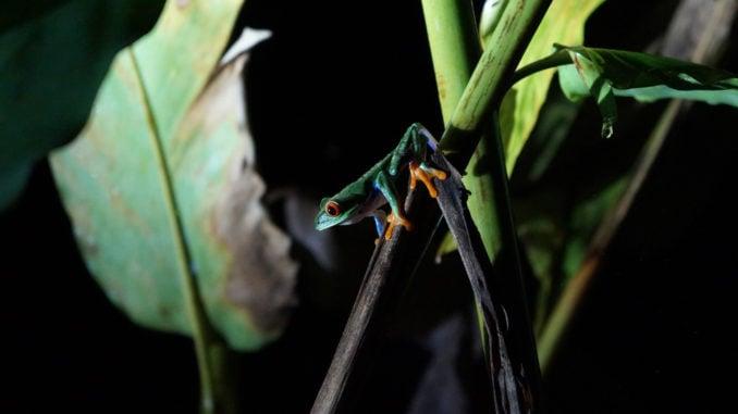 mistico-night-walk-frog