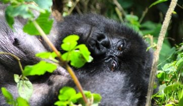 Mountain gorilla baby in Uganda