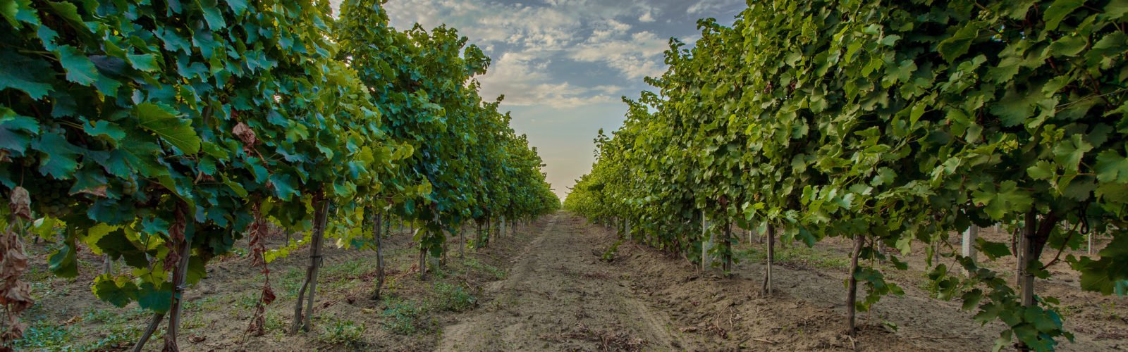 Greek vineyard and grapes