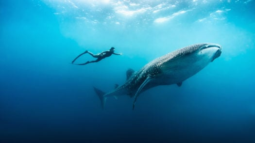Scuba diver with whale shark