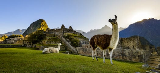 A llama walks around the ruins of Machu Picchu