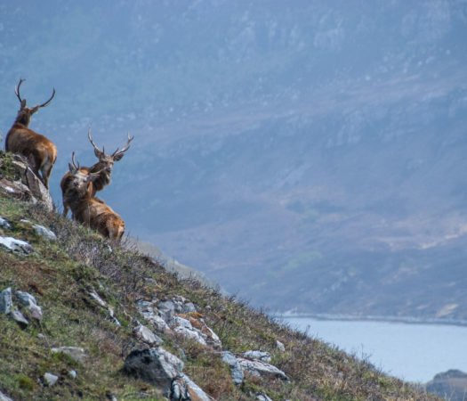 Three stags in the Scottish highlands