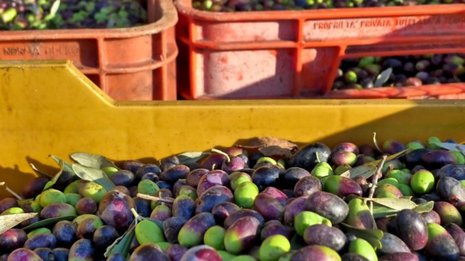 olive-harvest-italy