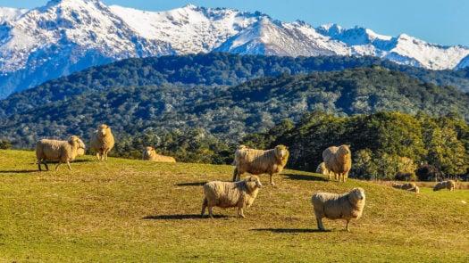sheep-green-meadow-new-zealand
