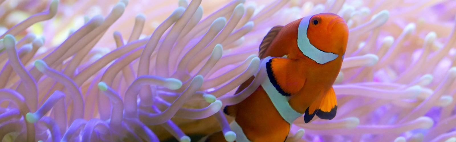 great-barrier-reef-clown-fish