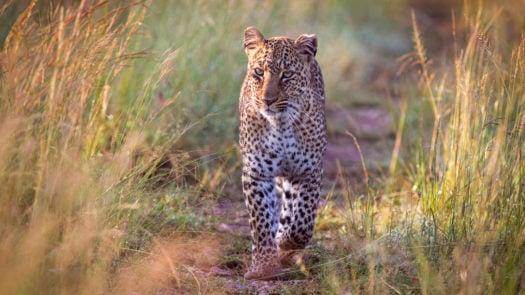 leopard-walking-india