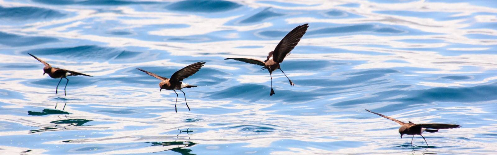 storm-petrel-galapagos