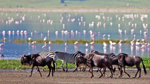 zabras-wildebeest-flamingo-ngorongoro-crater-tanzania