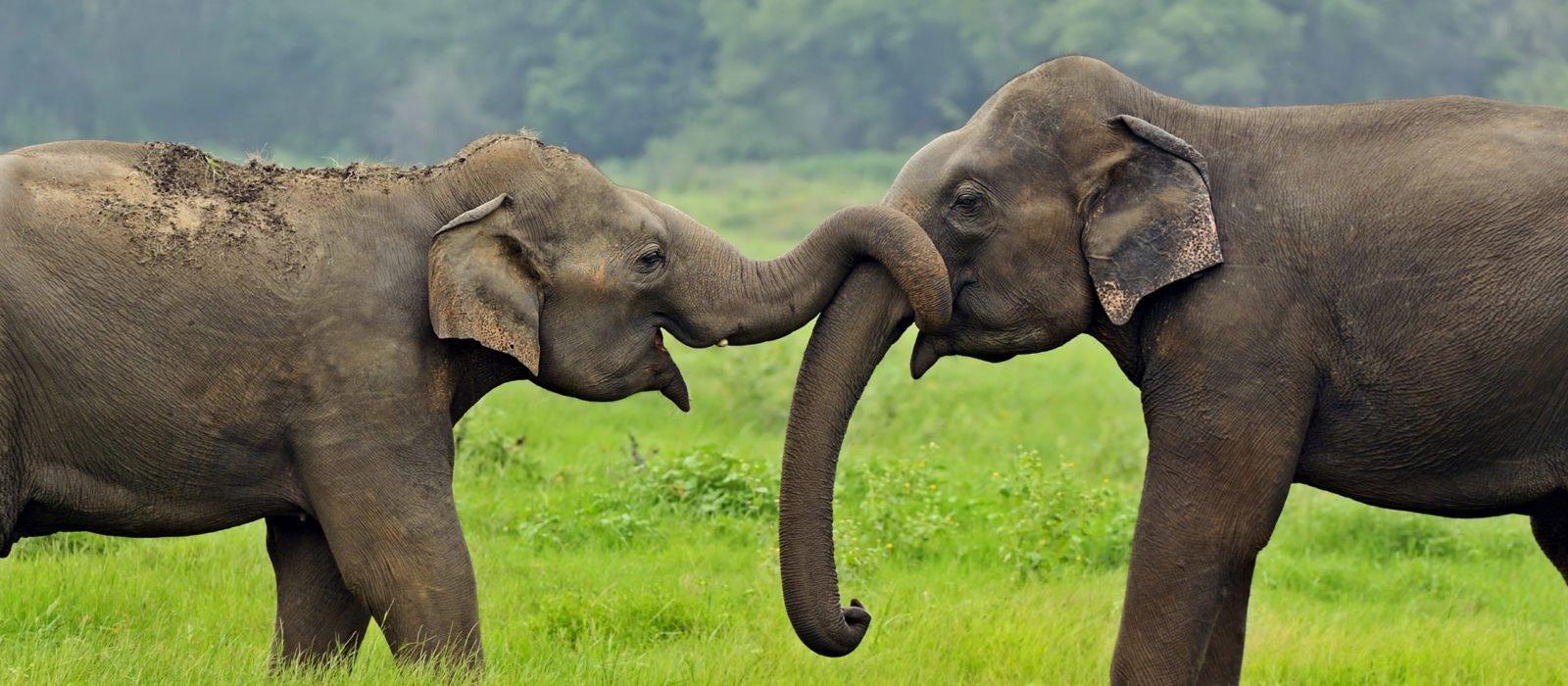 elephants-wild-sri-lanka
