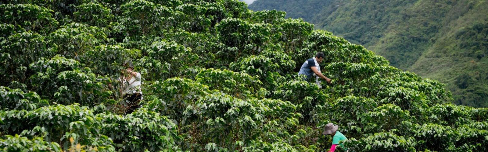 colombian-farmers-coffee-harvest