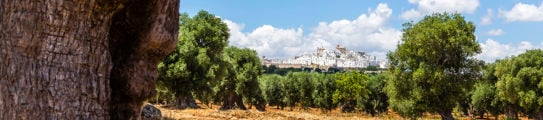 Olive groves, Puglia, with the city of Ostuni in the background