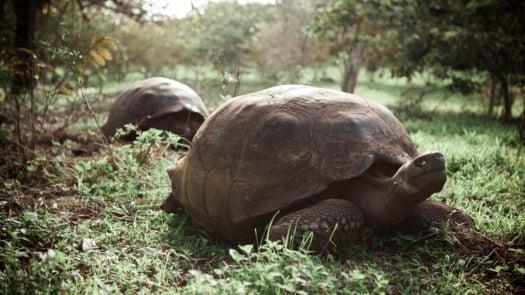 giant-tortoises-santa-cruz-galapagos-islands