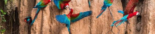 amazon-parrots