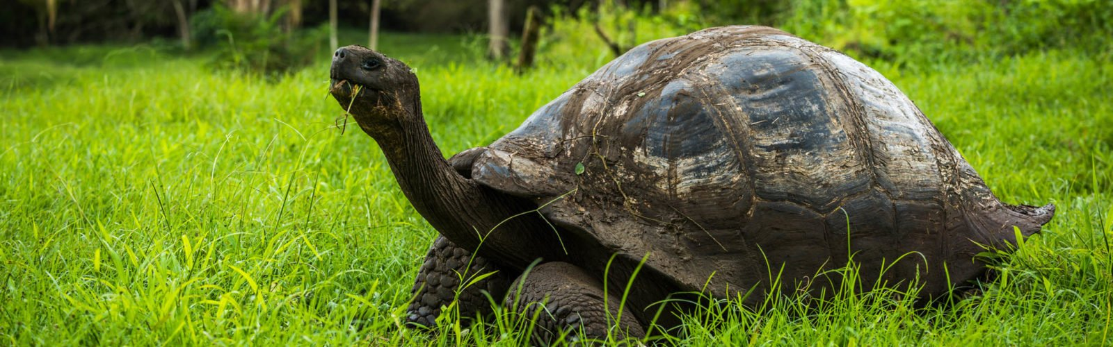 Galapagos giant tortoise eating grass in woods