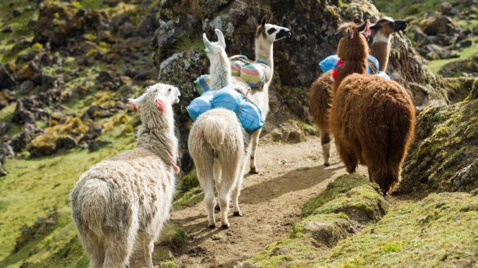 Llamas on the Inca Trail, Peru