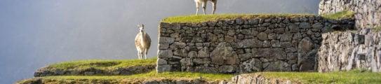 Llamas on Machu Picchu Terraces, Peru