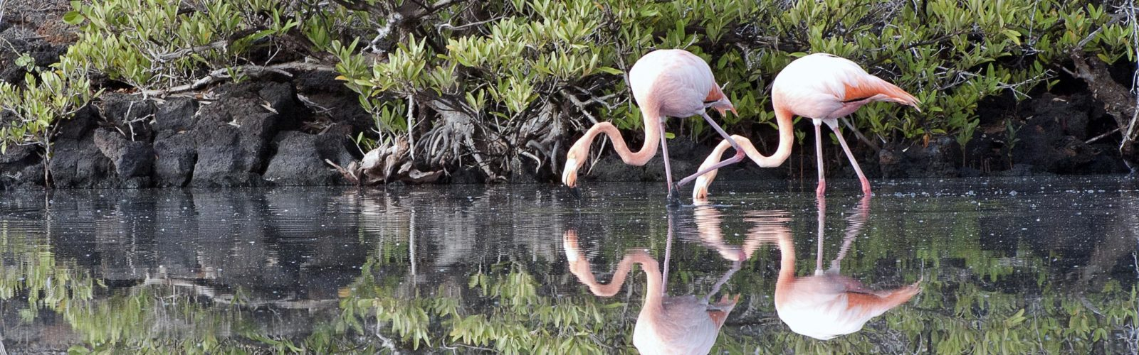 Two Flamingoes in perfect harmony, Galapagos Islands, Ecuador
