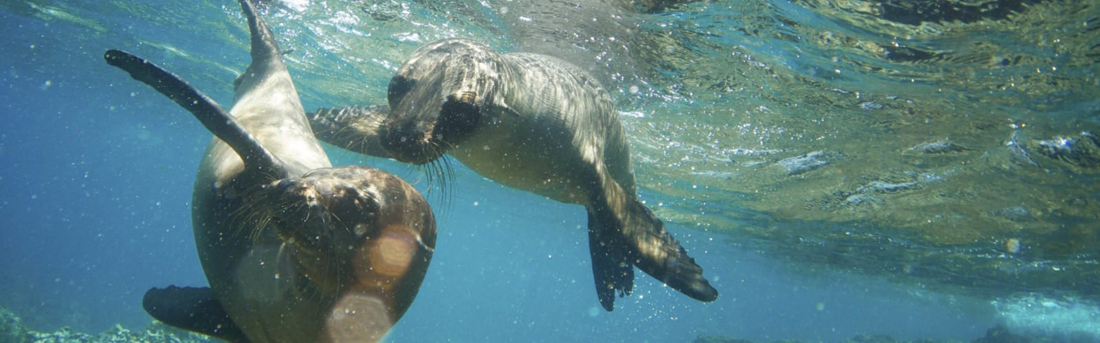 Two Galapagos Sea Lions Frolic Together Underwater
